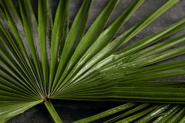 カルナバやしの葉のイメージ画像です。